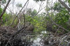 white mangrove Laguncularia racemosa