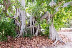 Indian banyan Ficus benghalensis