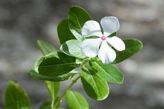 periwinkle (vinca) Catharanthus roseus