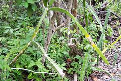 barbed-wire cactus Acanthocereus tetragonus