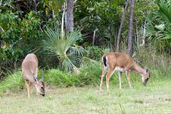 Key deer Odocoileus virginianus clavium
