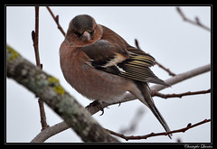 Pinson des arbres (Fringilla coelebs) - Photo of Ahuy