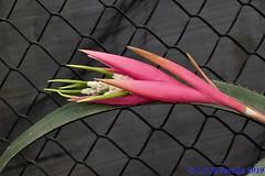 Billbergia zebrina - 12/2019