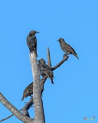 Common Starlings (Sturnus vulgaris) (DSB0362)
