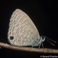Nacaduba hermus nabo (Pale Fourline Blue)
