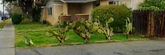 Cactus in Northridge, California