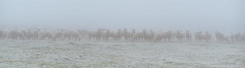 Bande de mouton
