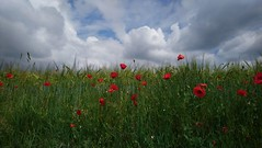 Red poppies in Bavaria