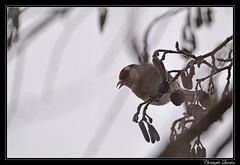 Chardonneret élégant (Carduelis carduelis)