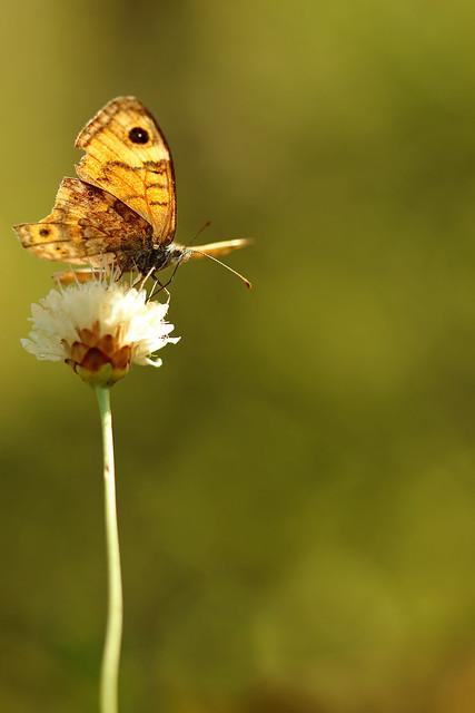 Quand vient la fin de l'été - Lasiommata megera
