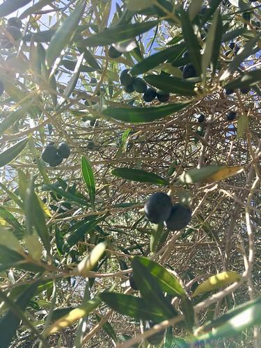 Sunny olives