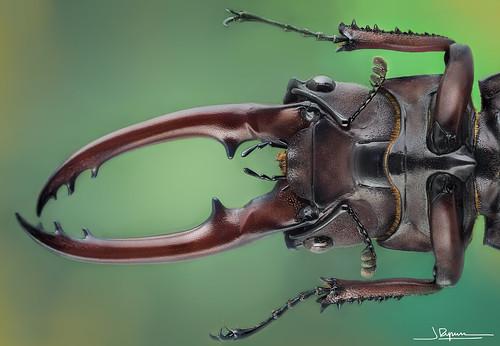 Propopocoilus Astacoides [Vietnam]