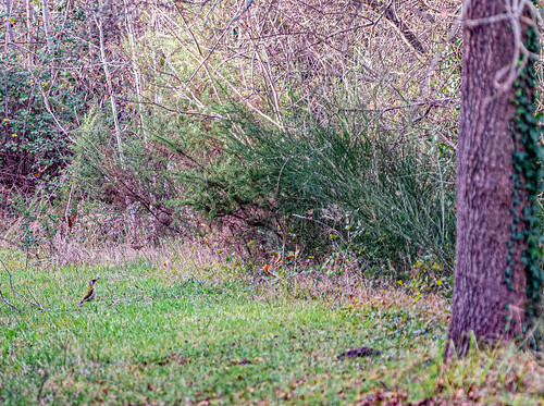 18-Picus viridis sharpei