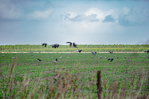 08-Des grues cendrées dans un champ de maïs