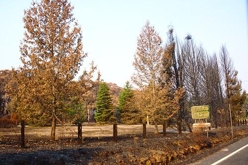 Burned pines, outside of Bell