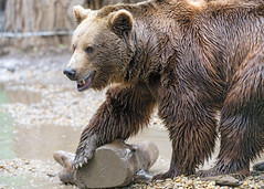 Brown bear holding small log