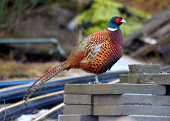 The beautiful pheasant