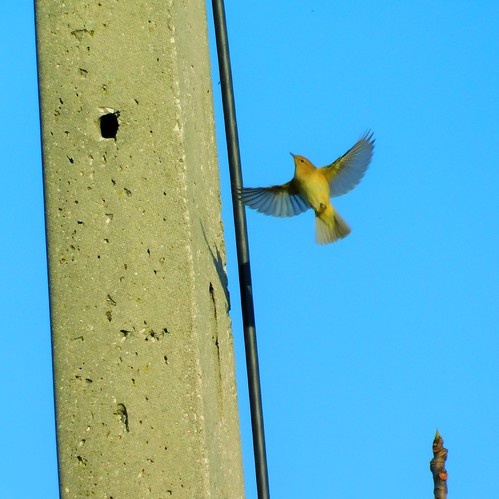 Flying to the top... Willow warbler (Felosa-musical)
