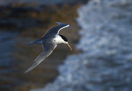 Crested Tern PP b