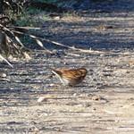 Aves en las lagunas de La Guardia (Toledo) 2-1-2020