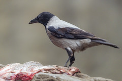 Crow on meat
