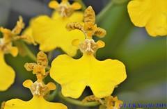 Coppensia bifolia - 2020