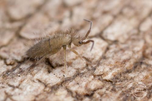 Entomobrya unostrigata