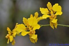 Alatiglossum chrysoptheranthum - 2020