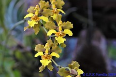 Alatiglossum micropogon - 2020
