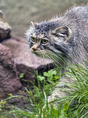 Pallas cat walking in the grass and stones