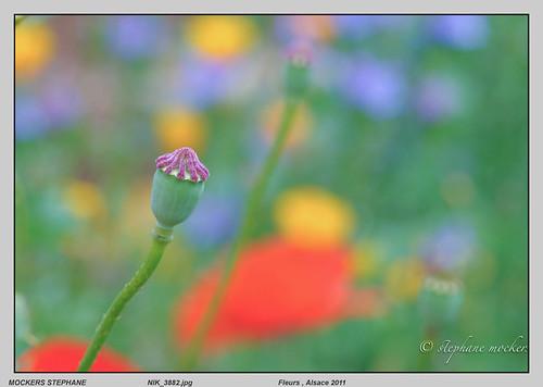 Fleurs , Alsace 2011
