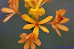 Epidendrum fulgens - 2020