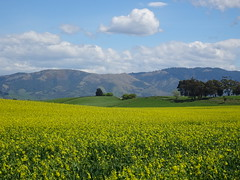 Hills and Canola