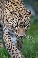 Portrait of a leopard walking