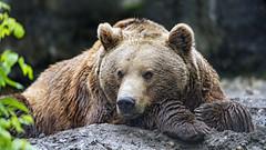 Brown bear nicely lying down
