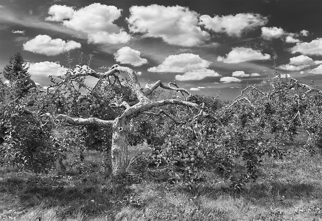 Apple Tree with Clouds
