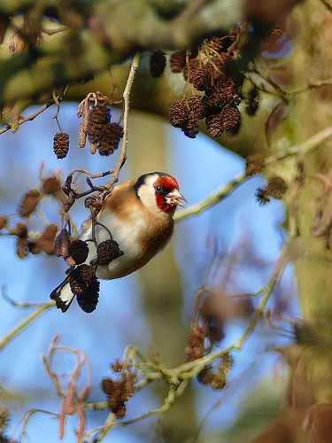 Goldfinches love black cones