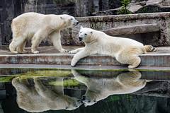 Polar bears and their reflection