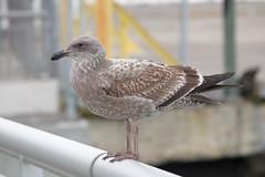 Seagull Pier 20 DSC_0794