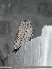 Pallid Scops-owl (Otus brucei)