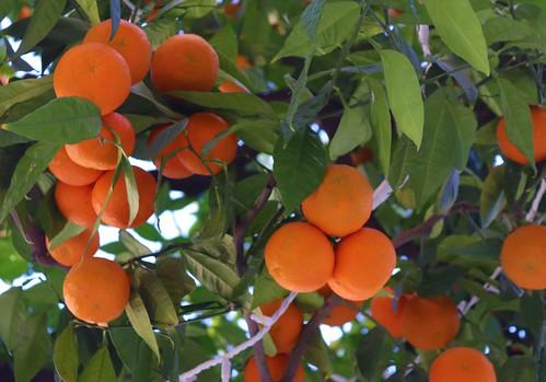 January Oranges