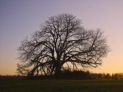 Baum Stolpe | 4. Januar 2020 | Gut Horst - Preetzerredder - Kreis Plön - Schleswig-Holstein - Deutschland