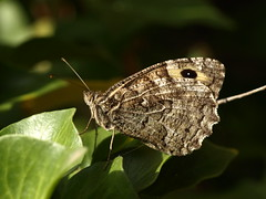 Papillon - Photo of Gâvres