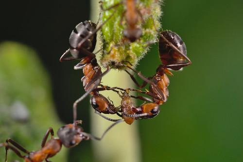 Formica polyctena