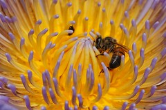 Australian native bees in water lilies