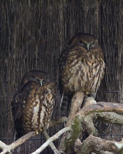 Birds of Otorohanga Kiwi House-3