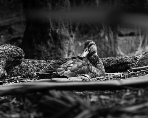 Birds of Otorohanga Kiwi House-2
