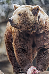 Brown bear posing well