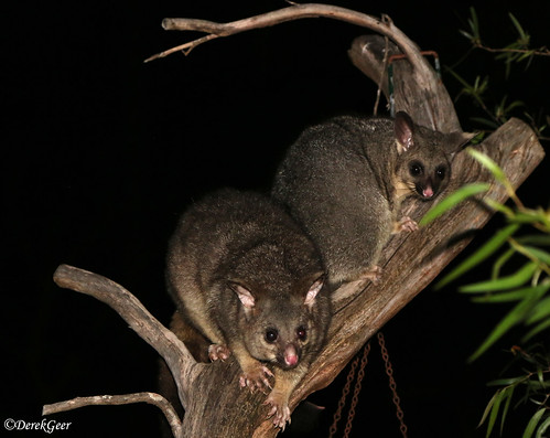 Two inquisitive Brushtail Possums