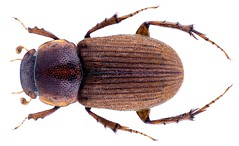 Brachiaphodius aureopilosus Boucomont, 1930